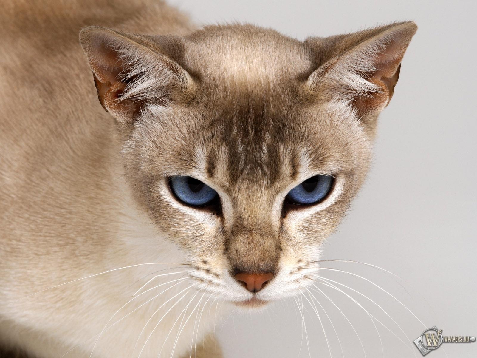 Тонкинская кошка 1600x1200