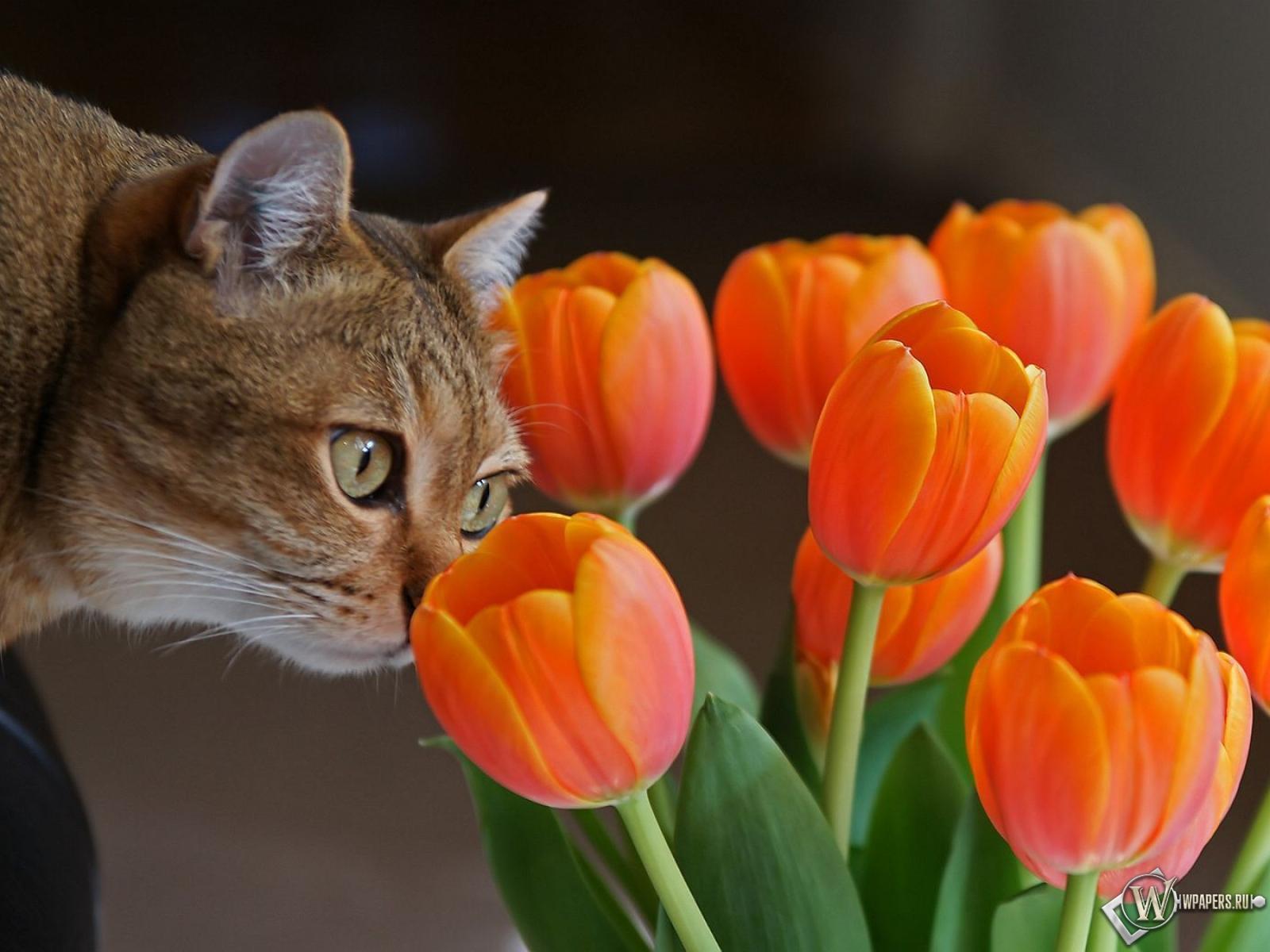 Кот с оранжевыми тюльпанами 1600x1200