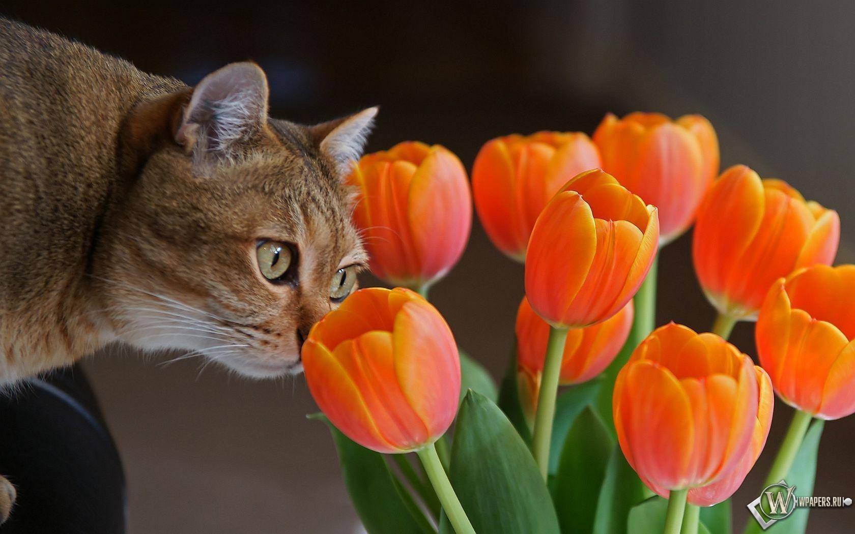 Кот с оранжевыми тюльпанами 1680x1050