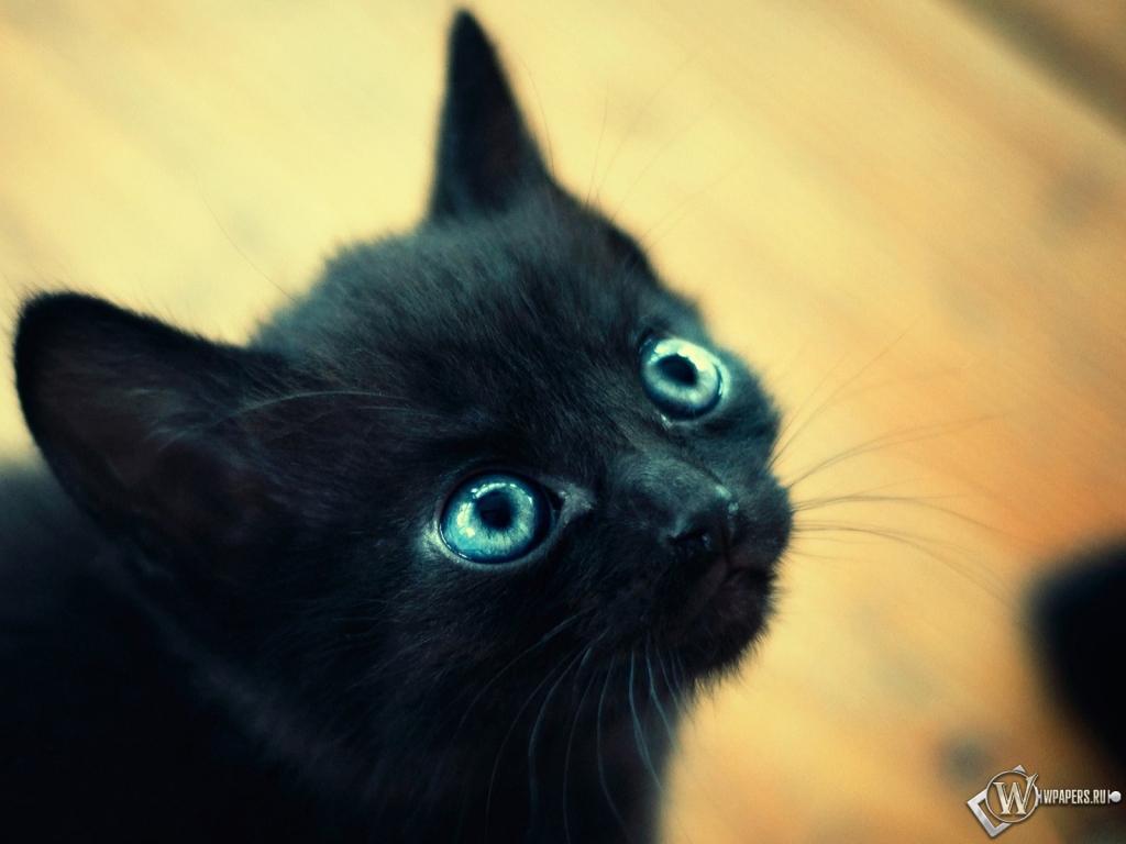 Чёрный котёнок 1024x768