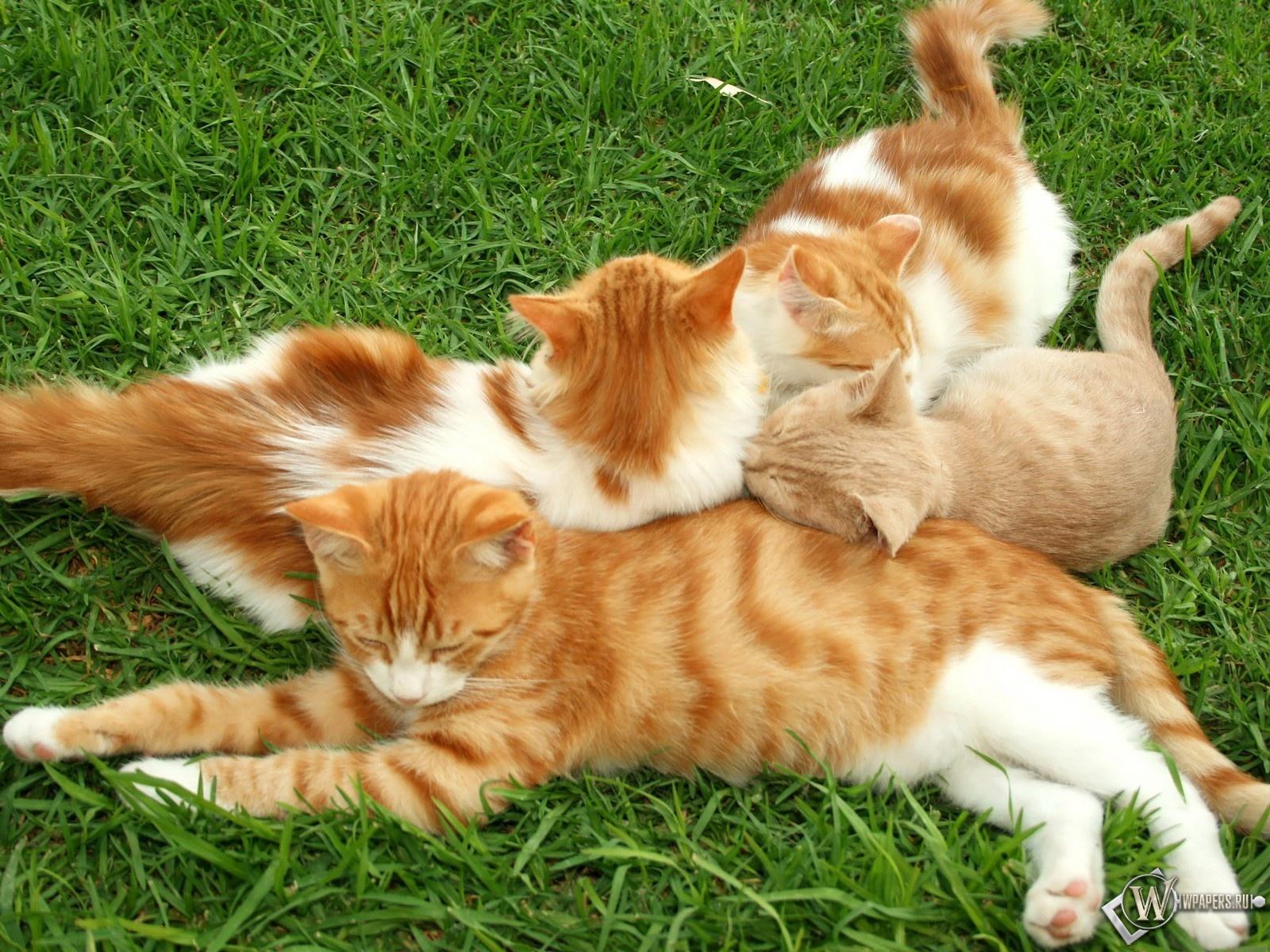 Рыжие кошки 1600x1200