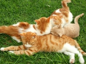 Обои Рыжие кошки: Трава, Кошка, Рыжий, Кошки