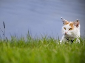 Обои Кот в траве: Зелень, Взгляд, Кот, Трава, Животные