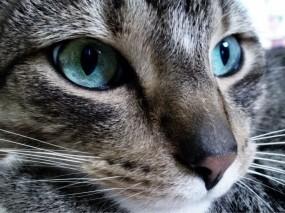 Обои Голубоглазый кот: Глаза, Взгляд, Кот, Кошки