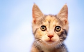 Обои Рыжий котёнок: Взгляд, Котёнок, Кошки