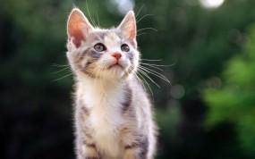 Обои Красивый Котёнок: Взгляд, Кот, Котёнок, Кошки