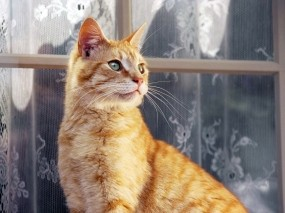 Обои Рыжий кот: Кот, Окно, Рыжий, Кошки