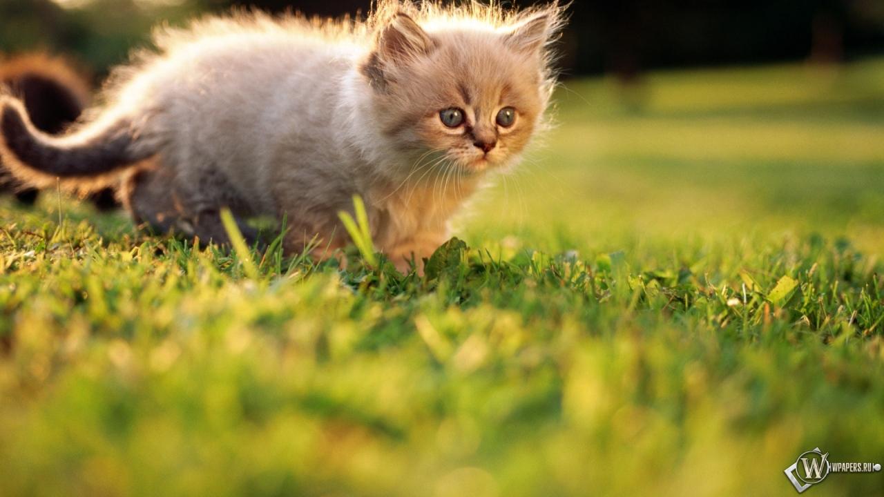 Котёнок на прогулке 1280x720