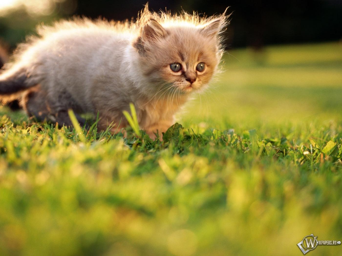 Котёнок на прогулке 1400x1050