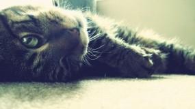 Обои Довольный кот: Глаза, Кот, Усы, лапы, Кошки