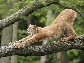 Обои Потягивающаяся рысь: Дерево, Когти, Рысь, Кошки