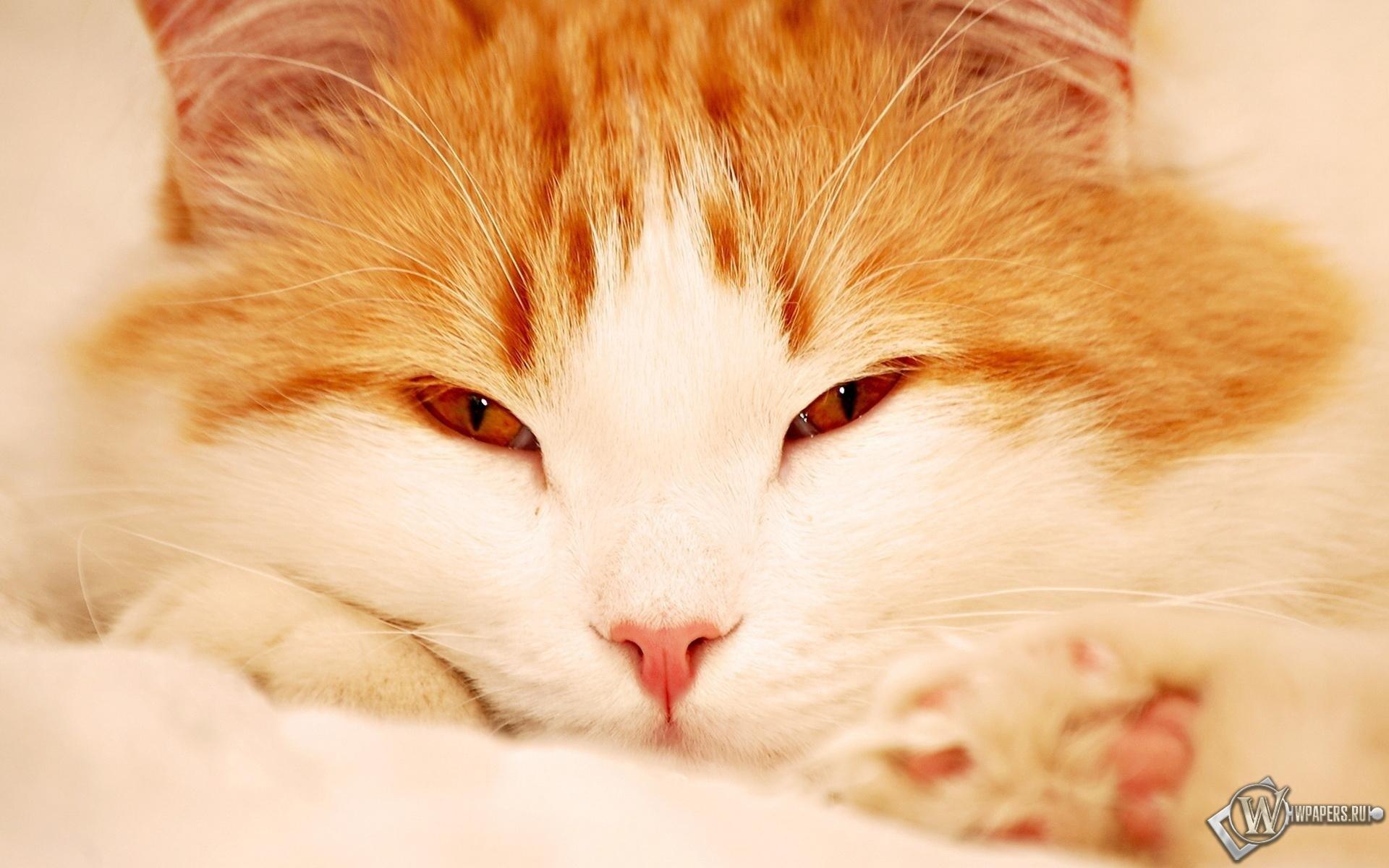 Пушистый рыжий кот 1920x1200