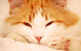 Пушистый рыжий кот