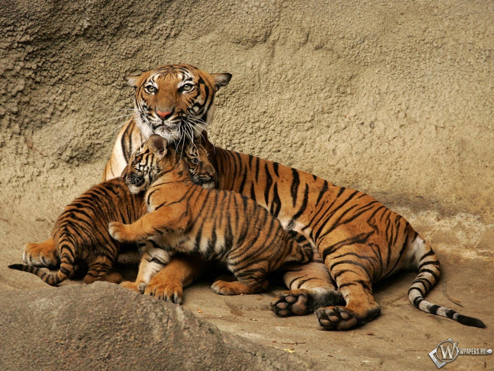 Тигрица с тигрятами 1600x1200