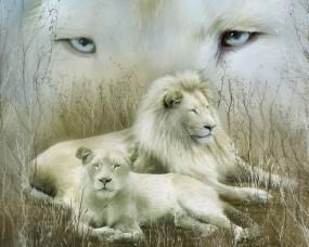 Обои Белые львы: Взгляд, Львы, Отдых, Семья, Кошки