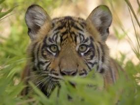 Обои Тигр на охоте: Хищник, Тигр, Кошки