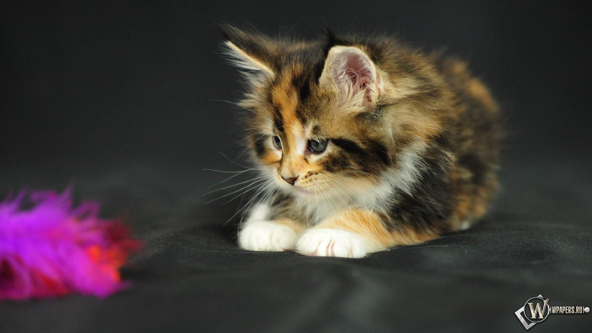 Пушистый котёнок 1920x1080
