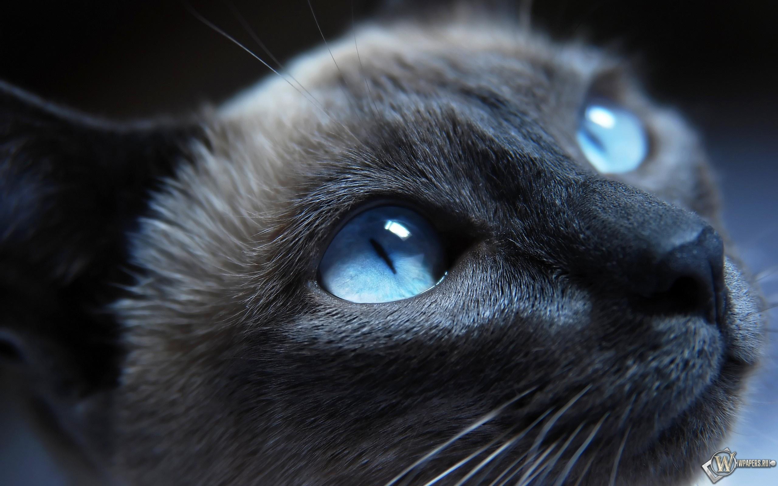 Голубоглазый кот 2560x1600