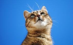 Обои Кот на голубом фоне: Кот, Интерес, Фон, Кошки