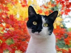 Обои Чёрно-белый кот: Кот, Пятна, мордочка, Кошки