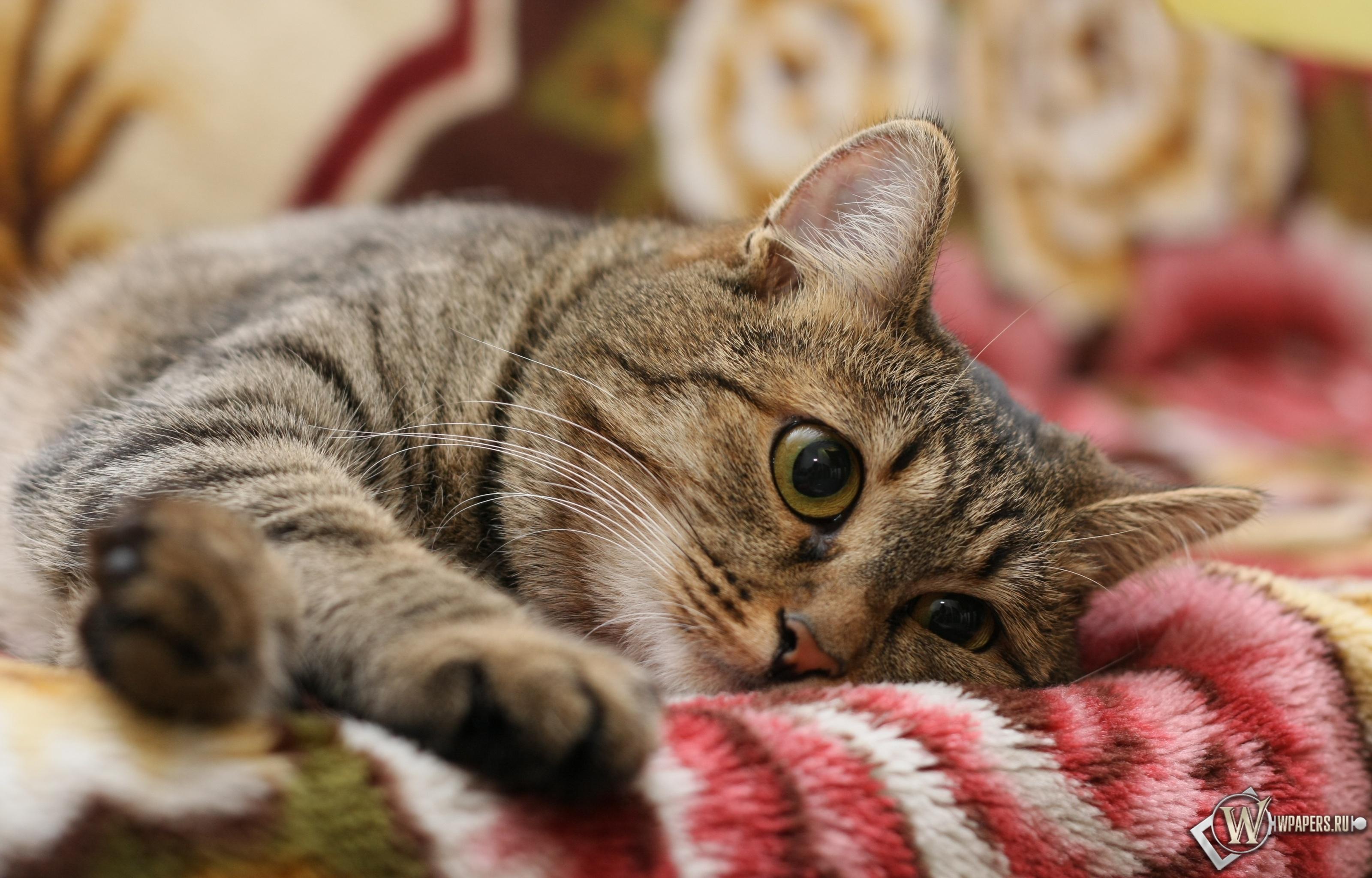 Полосатый кот 3200x2048