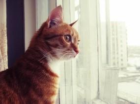Обои Кот смотрит в окно: Кот, Окно, Рыжий, Кошки