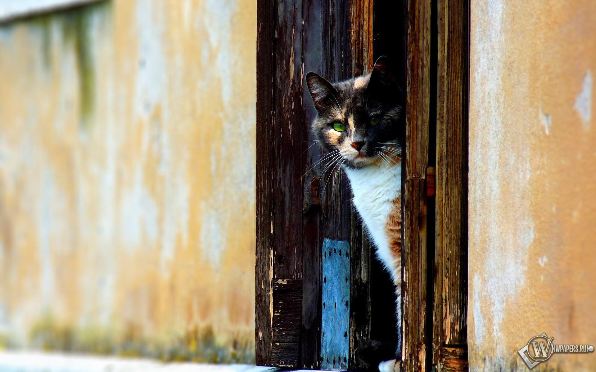 Трёхцветная кошка 1920x1200