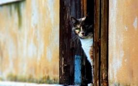 Обои Трёхцветная кошка: Стена, Кот, Дверь, Кошки
