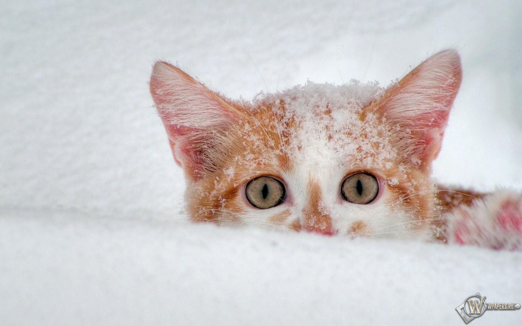 Котёнок в снегу 1680x1050