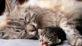 Обои Кошка с котёнком: Сон, Кошка, Котёнок, Кошки