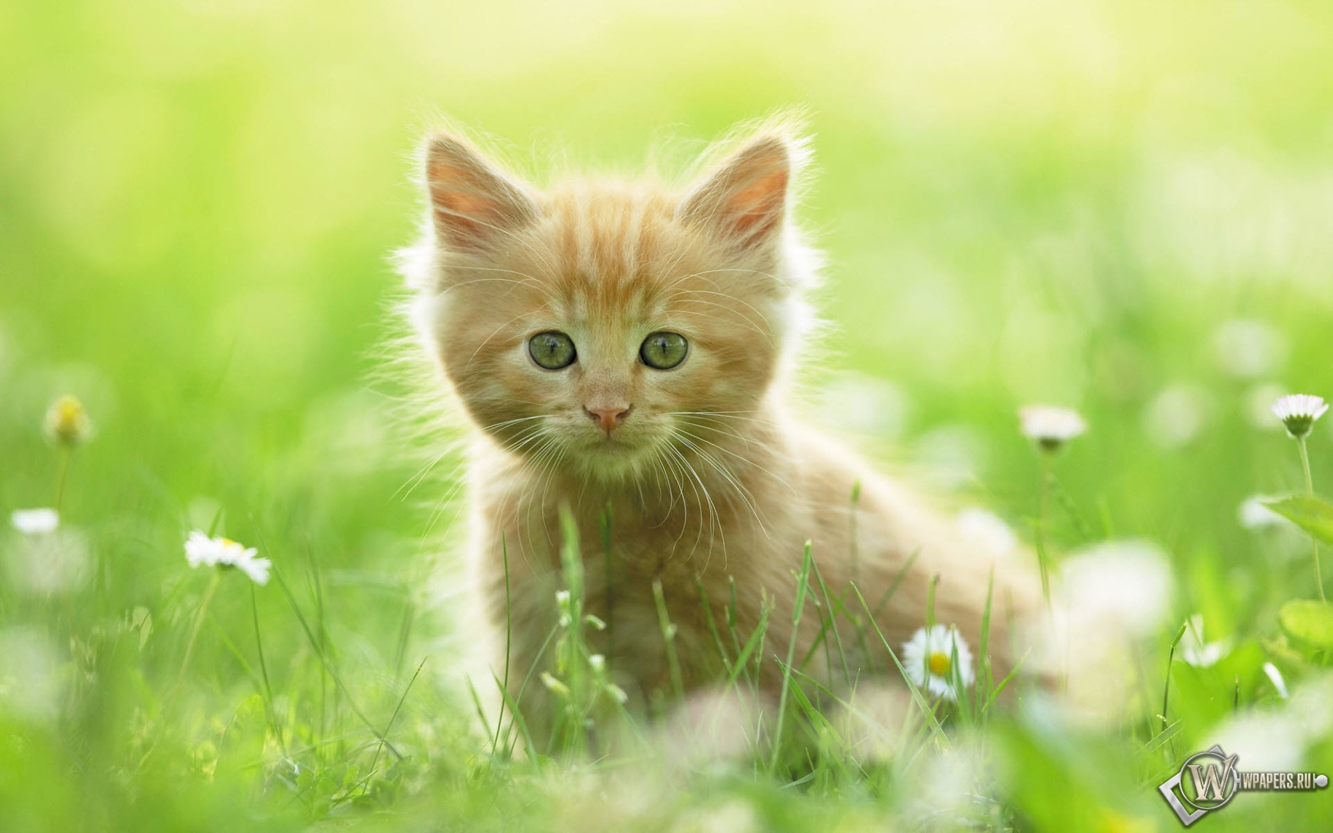 Котёнок в цветах 1920x1200