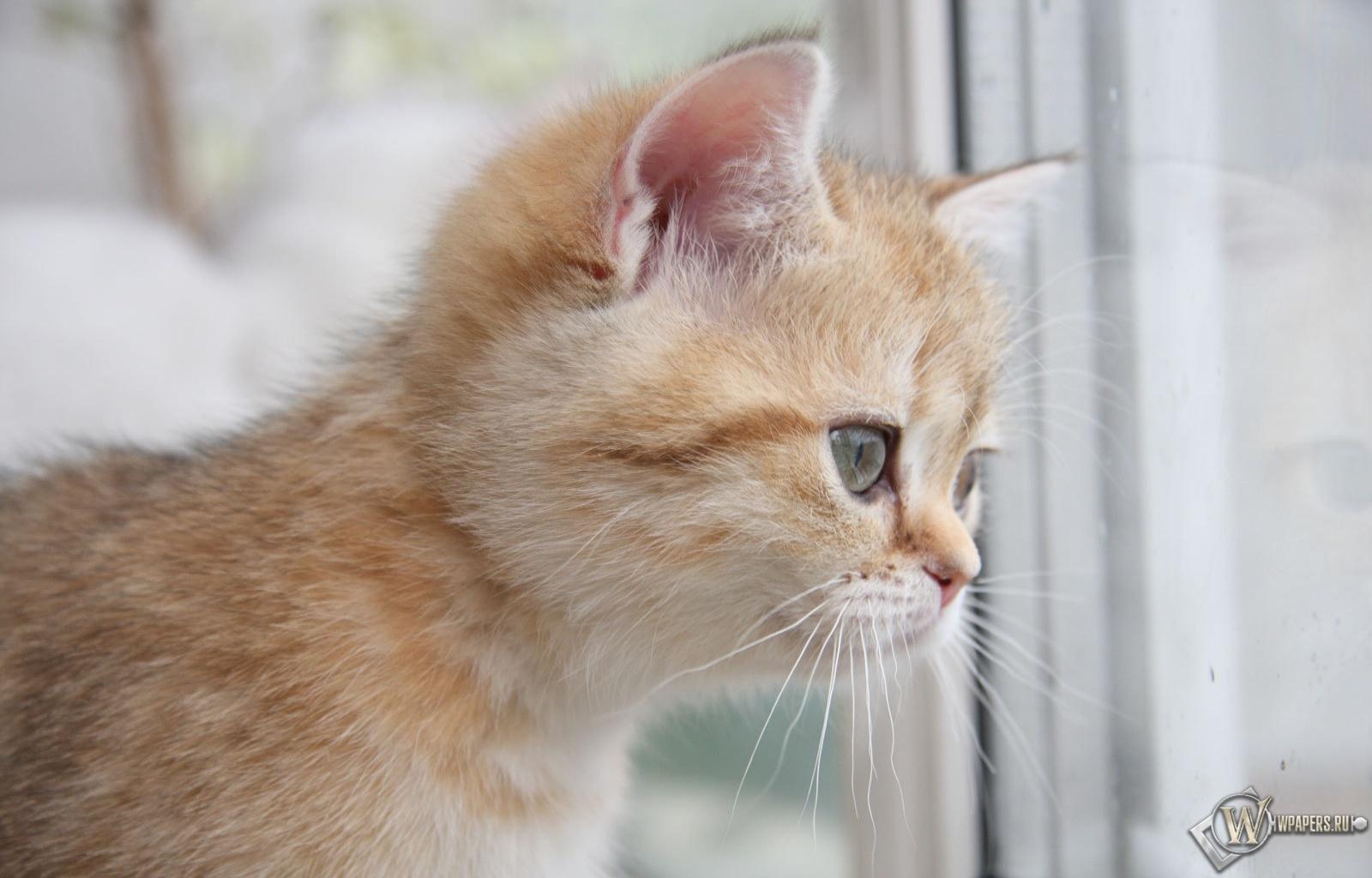 Рыжий котёнок 1600x1024