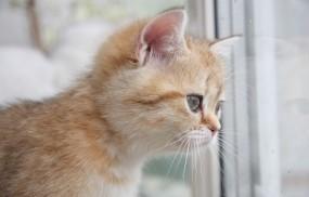 Обои Рыжий котёнок: Окно, Котёнок, Рыжий, Кошки