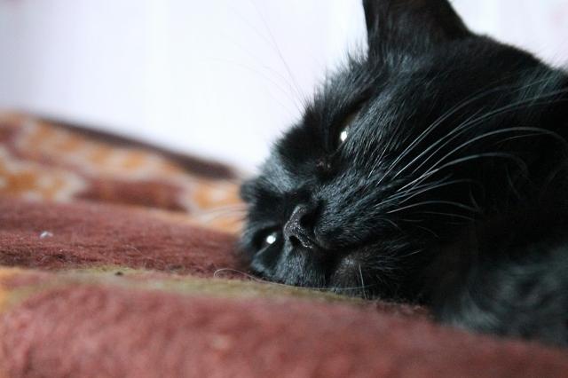 Дремлющая кошка