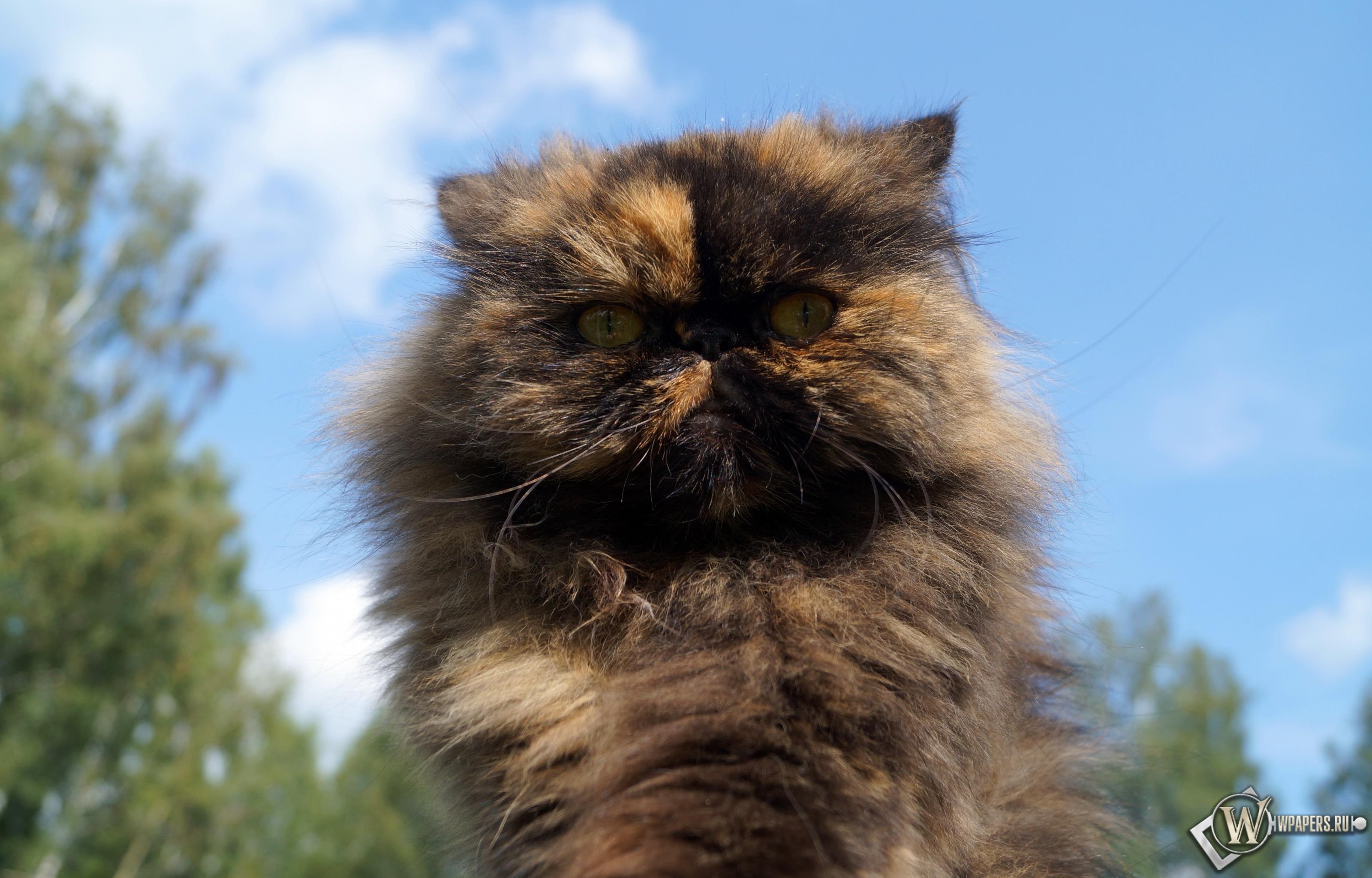Персидская кошка 3200x2048