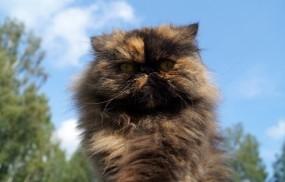 Обои Персидская кошка: Кошка, Животное, Кошки