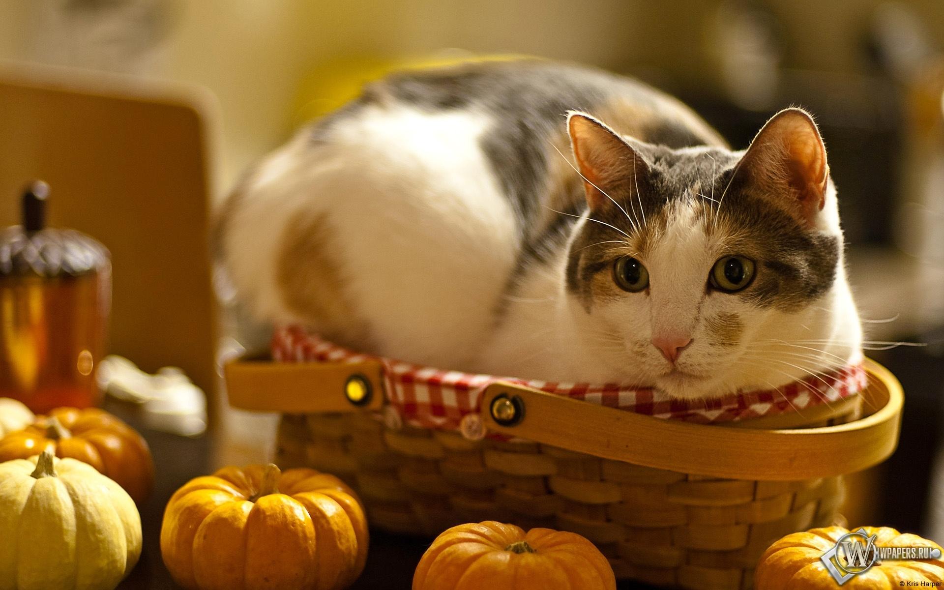Кошка в лукошке 1920x1200