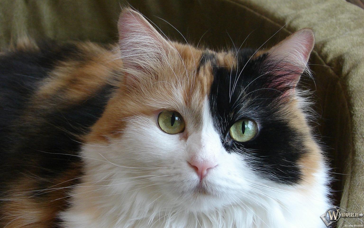 Красивая кошка 1536x960