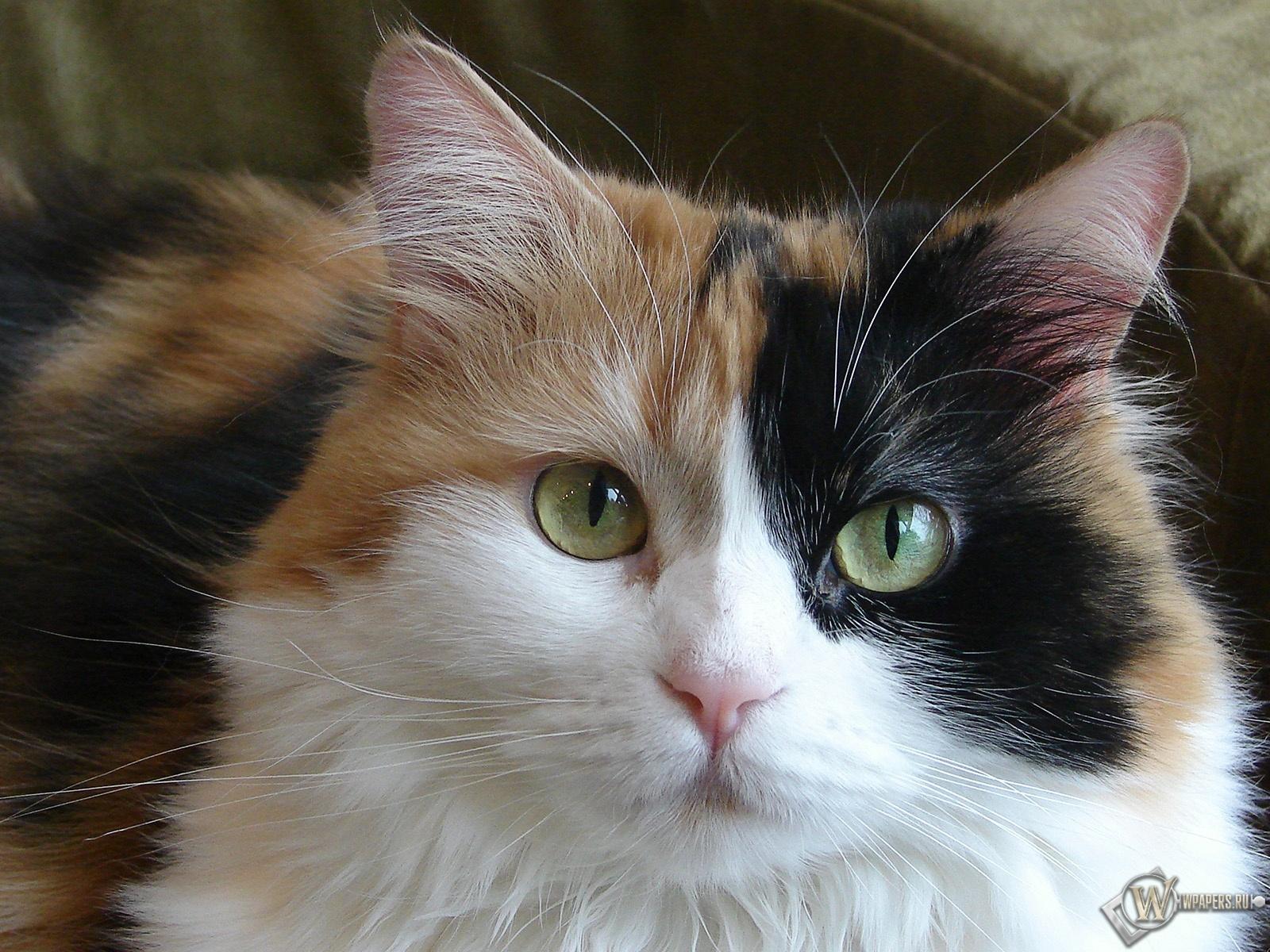 Красивая кошка 1600x1200