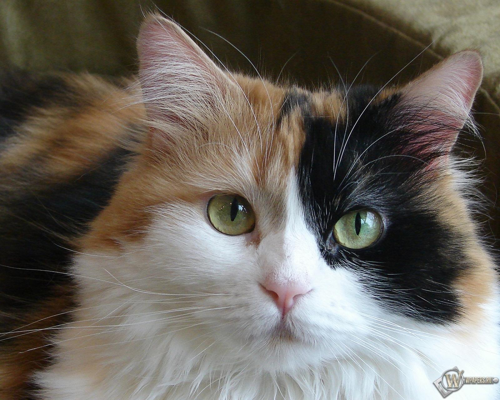 Красивая кошка 1600x1280