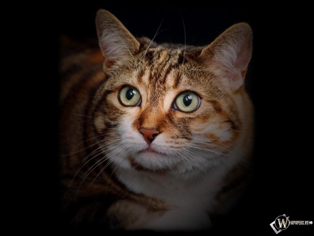 Кошка на темном фоне 1024x768