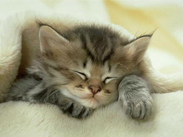 Спящий под одеялом котенок