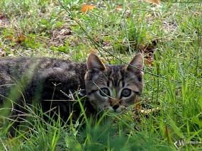 Обои Охотничий кот: , Кошки