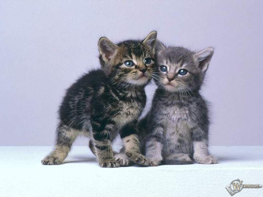 Кошачья дружба 1024x768