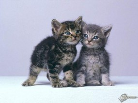 Обои Кошачья дружба: , Кошки