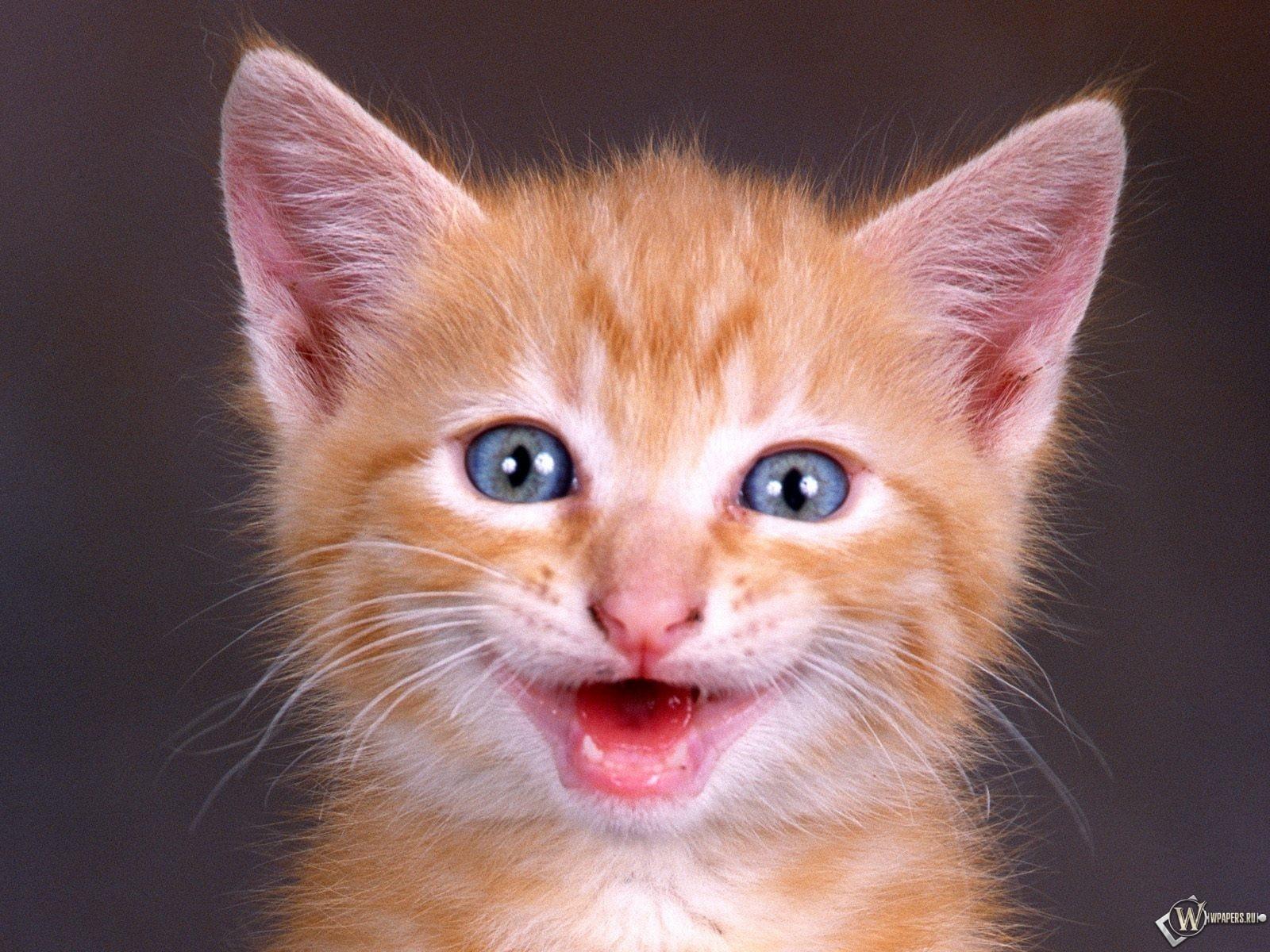 Смеющийся котенок 1600x1200