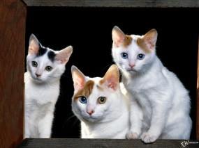 Обои Разноглазые коты: , Кошки