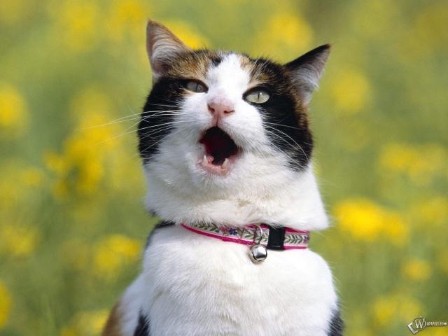 Кричащий кот