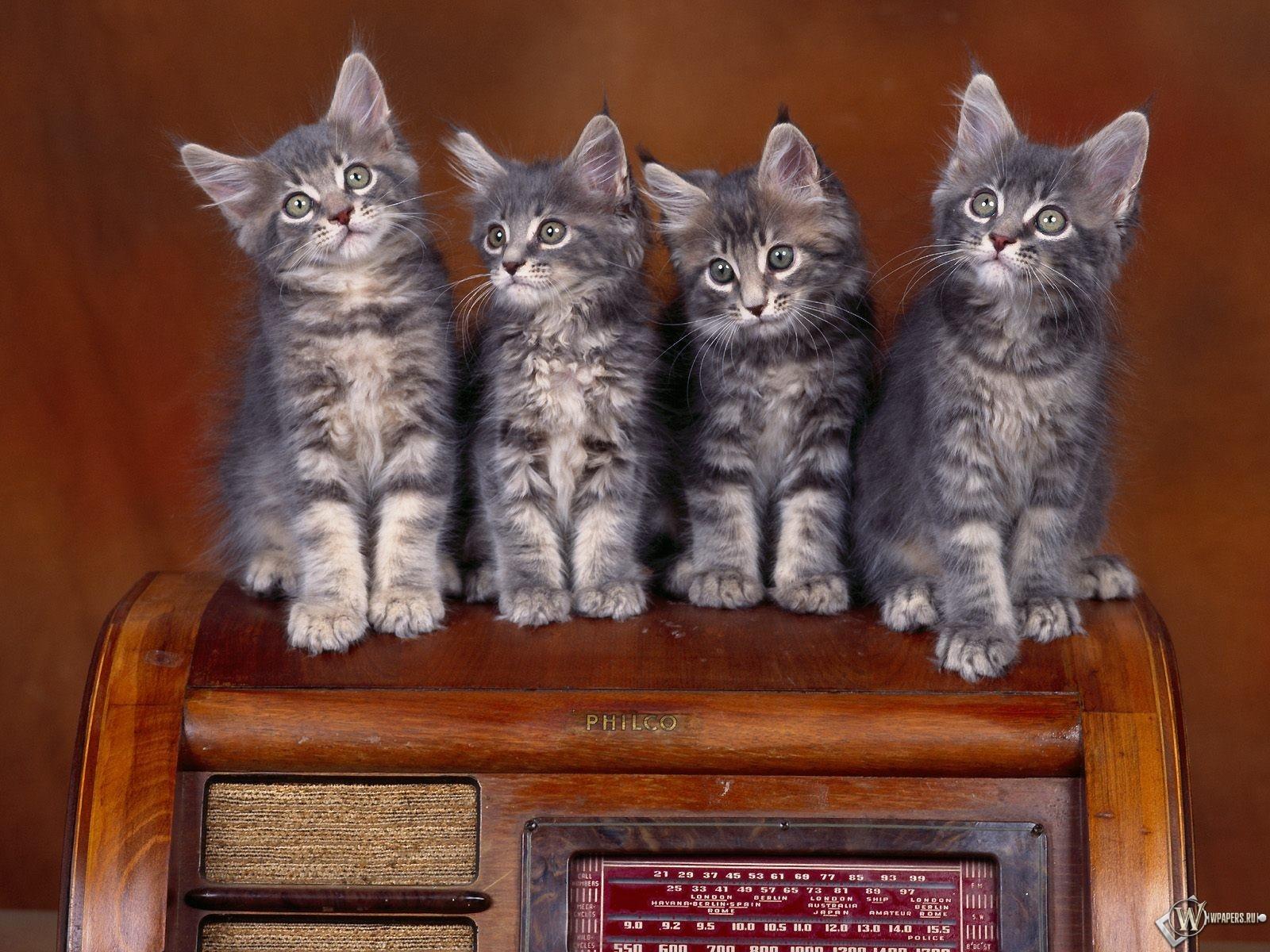 Четыре серых котенка 1600x1200