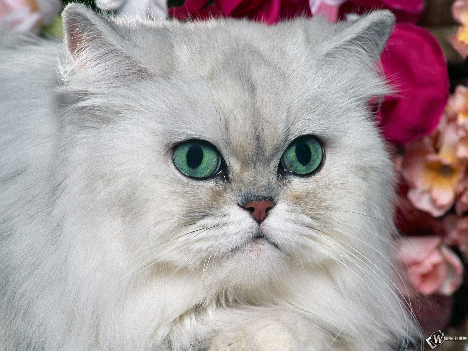 Белый кот с голубыми глазами 1600x1200